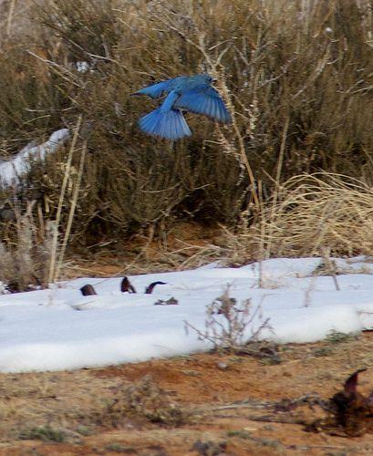 Bluebird in Flight | Flickr - Photo Sharing!