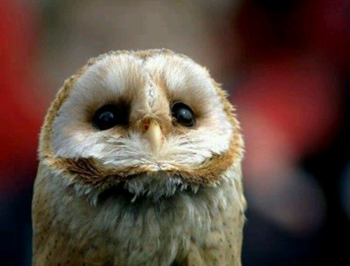 Owls Eat Raw Meat Chicken And Mice Owls Owl Animals Birds