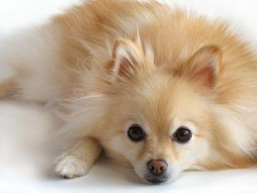 Pomeranian Orange And White Pomeranian Dog Dog Breeds Pictures Dog Breeds