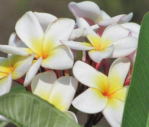 Plumeria es una flor típica de las regiones tropicales