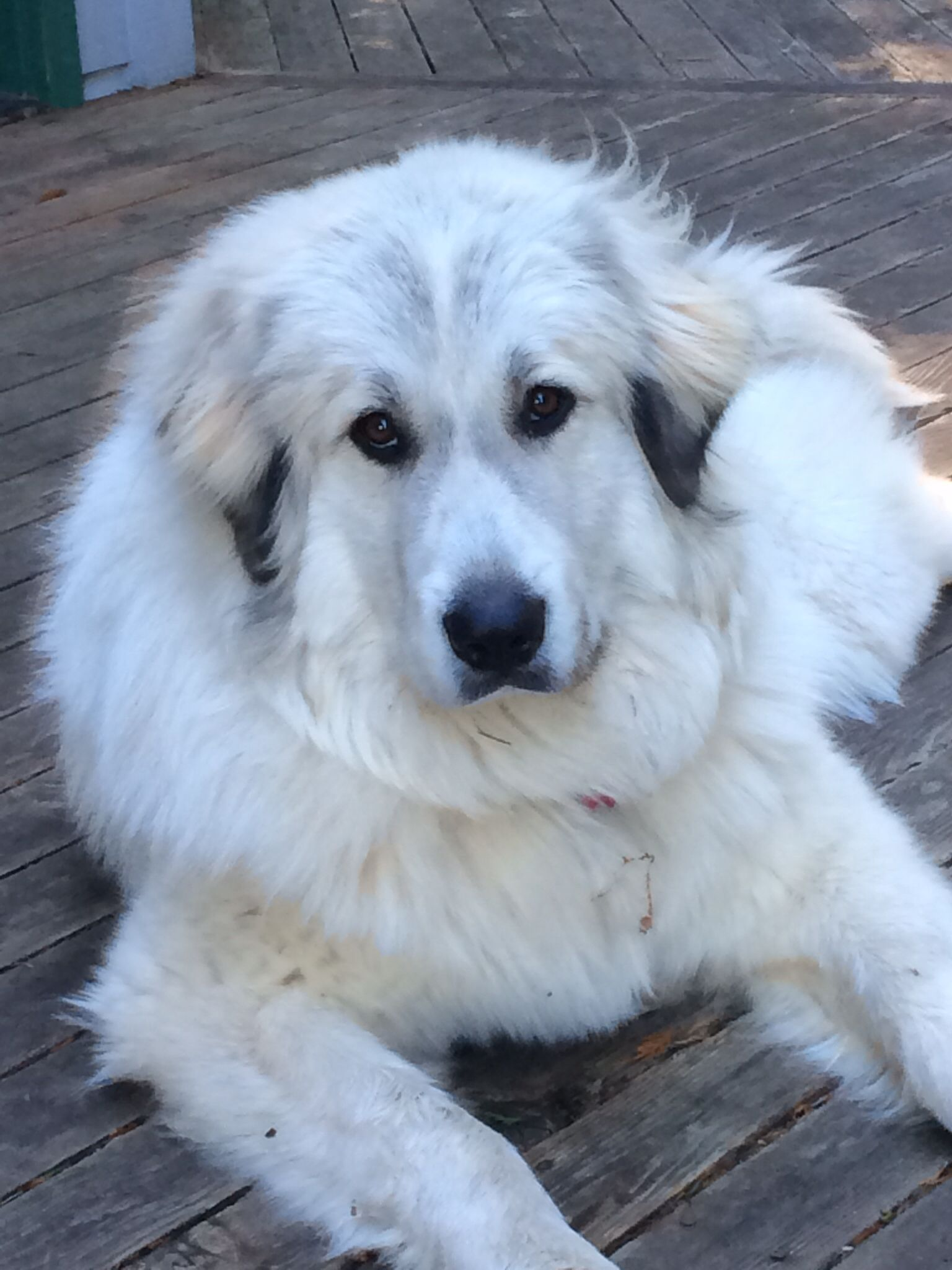 Gracie Almost 1 Year Old Livestock Guardian Dog Great