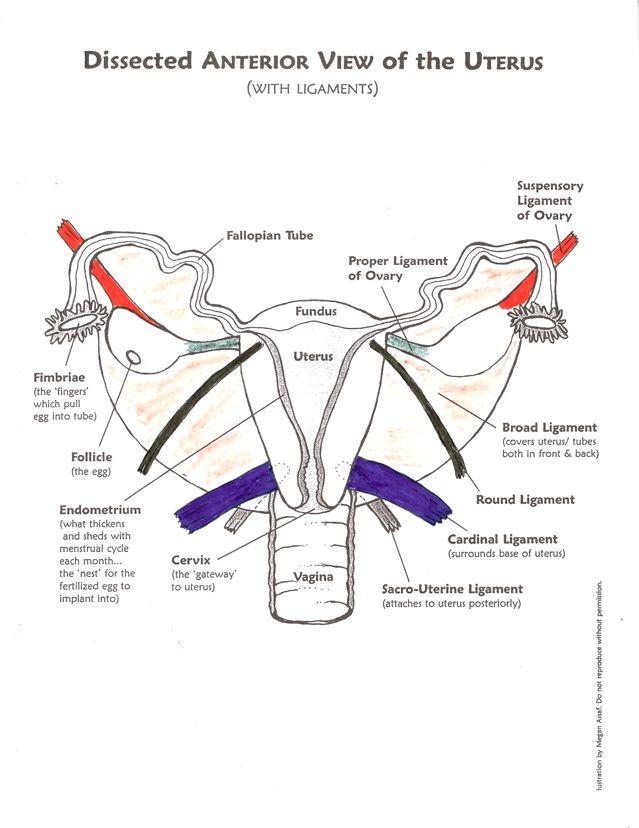 Uterus Anatomy Ligaments uterine ligaments | Se...