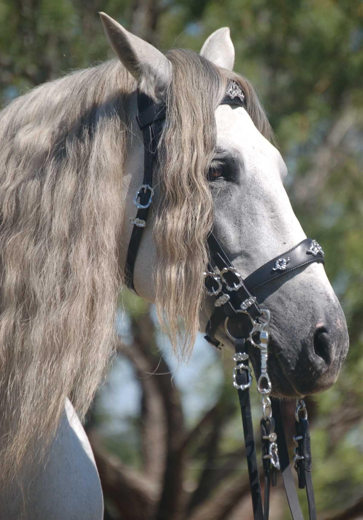 Odilon JIM Horses, Grey horse, Andalusian horse