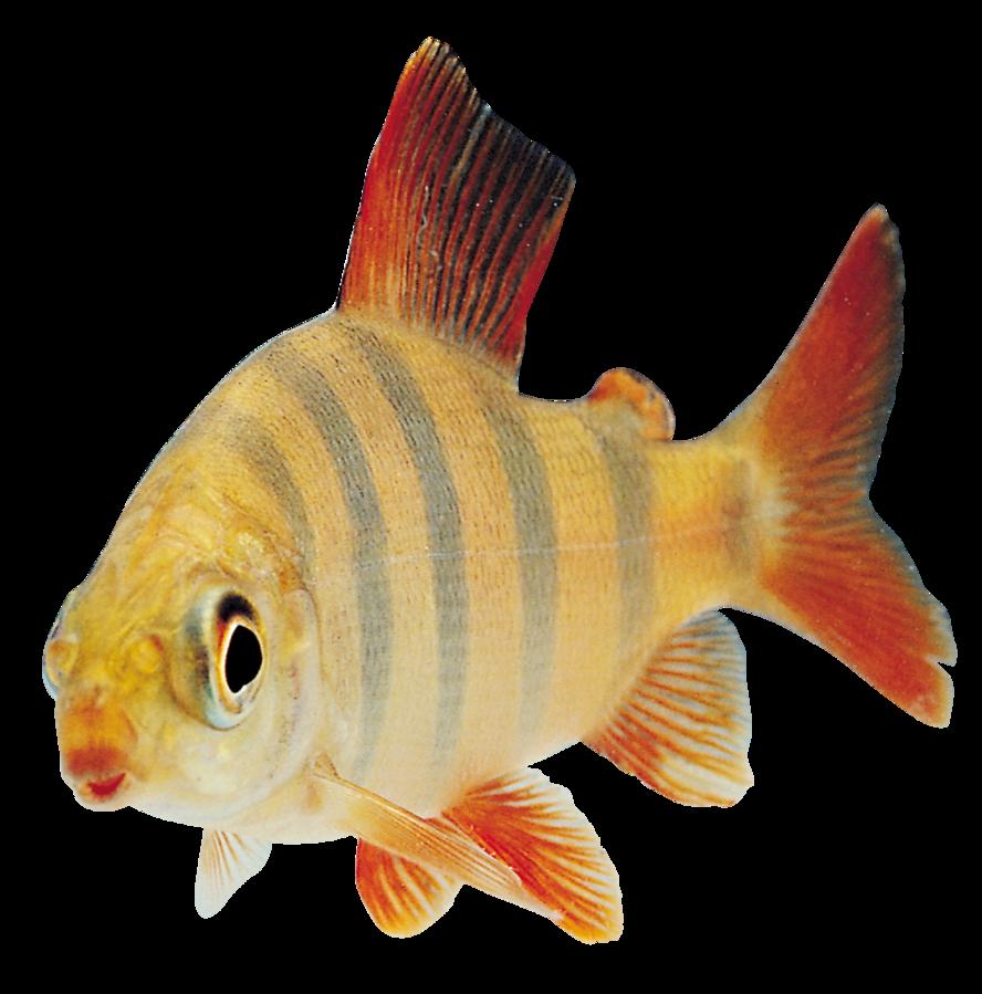 Fish Transparent Png By Absurdwordpreferred On Deviantart Animal Flashcards Pond Animals Png