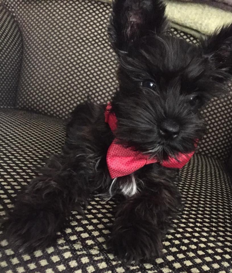 Rohan Wearing His Bow Tie Schnauzer Puppy Miniature Schnauzer Puppies Dog Pounds