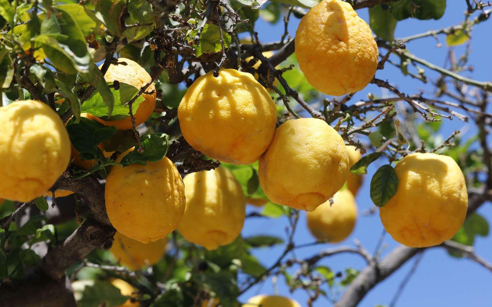 Comment Cultiver Un Citronnier En Pot Cultiver Citronnier Jardinage