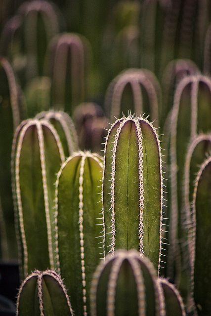 Cactus Farm II 9696