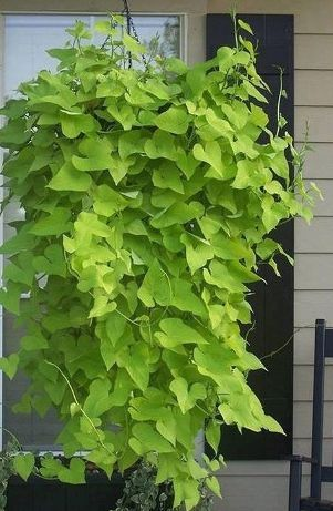 If You Want To Grow A Sweet Potato Vine Plant All You