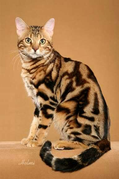 Bengal With Images Beautiful Cats