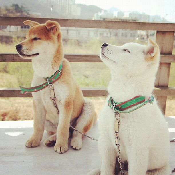 Two Dogs In Korea Dog Breeds Cute Animals Cute Dogs