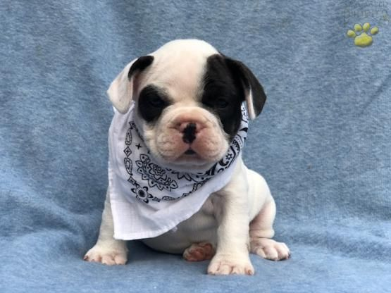 Remy French Bulldog Puppy For Sale In Honey Brook Pa