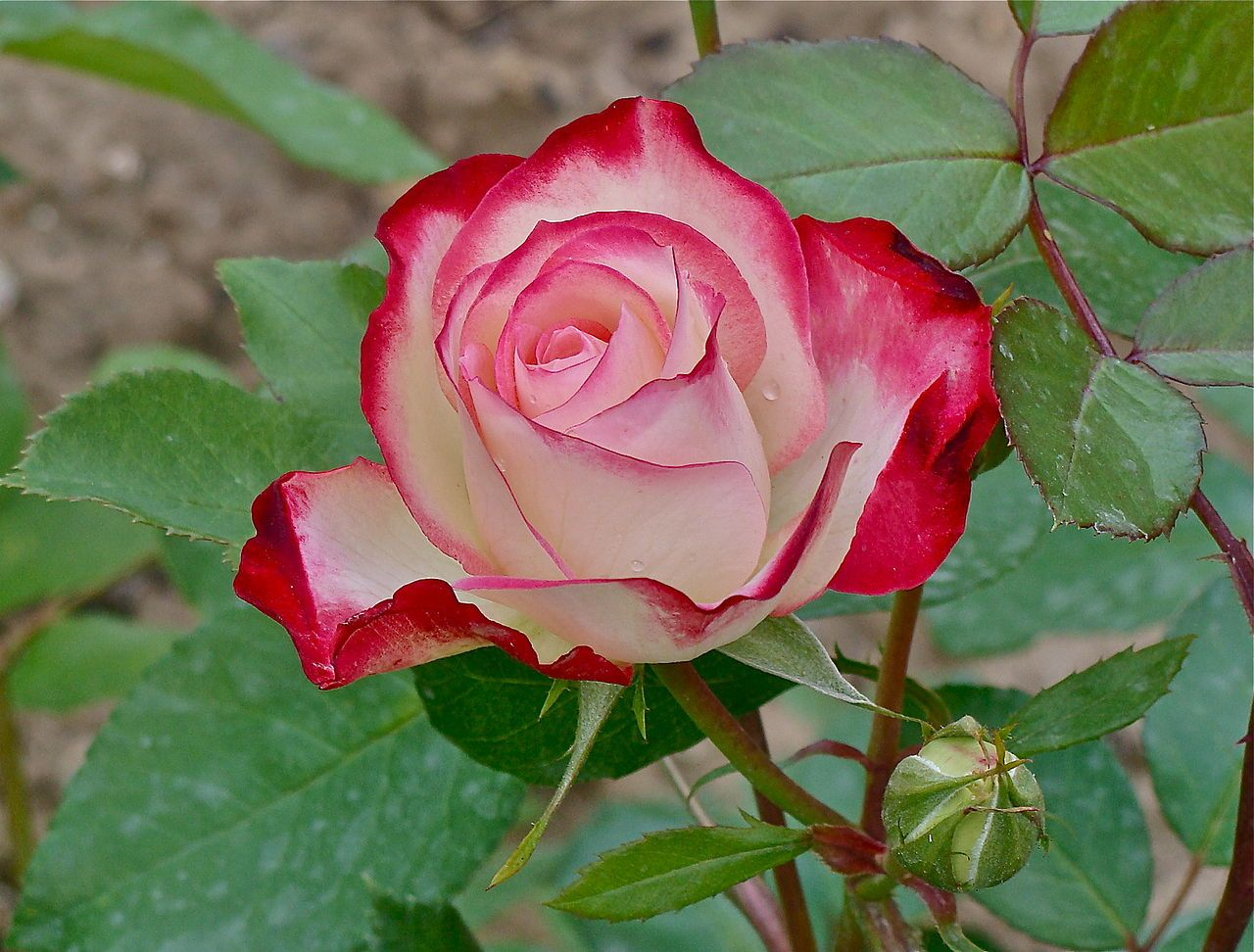 Double Delight Tea rose hybrid and bud Rose Hall of
