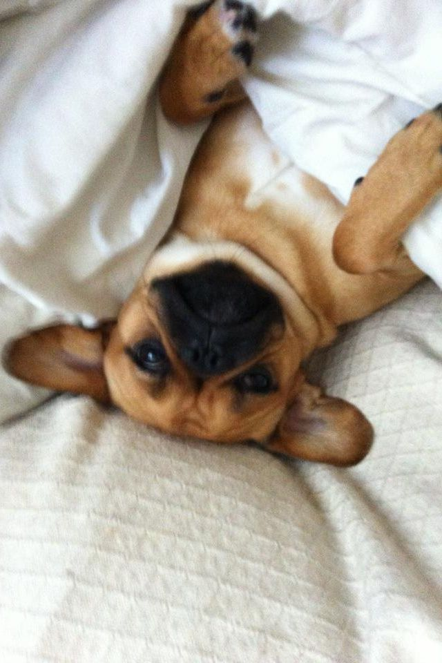 Pin By Natalie Warburton On My Perfect Pugalier Animals Pets