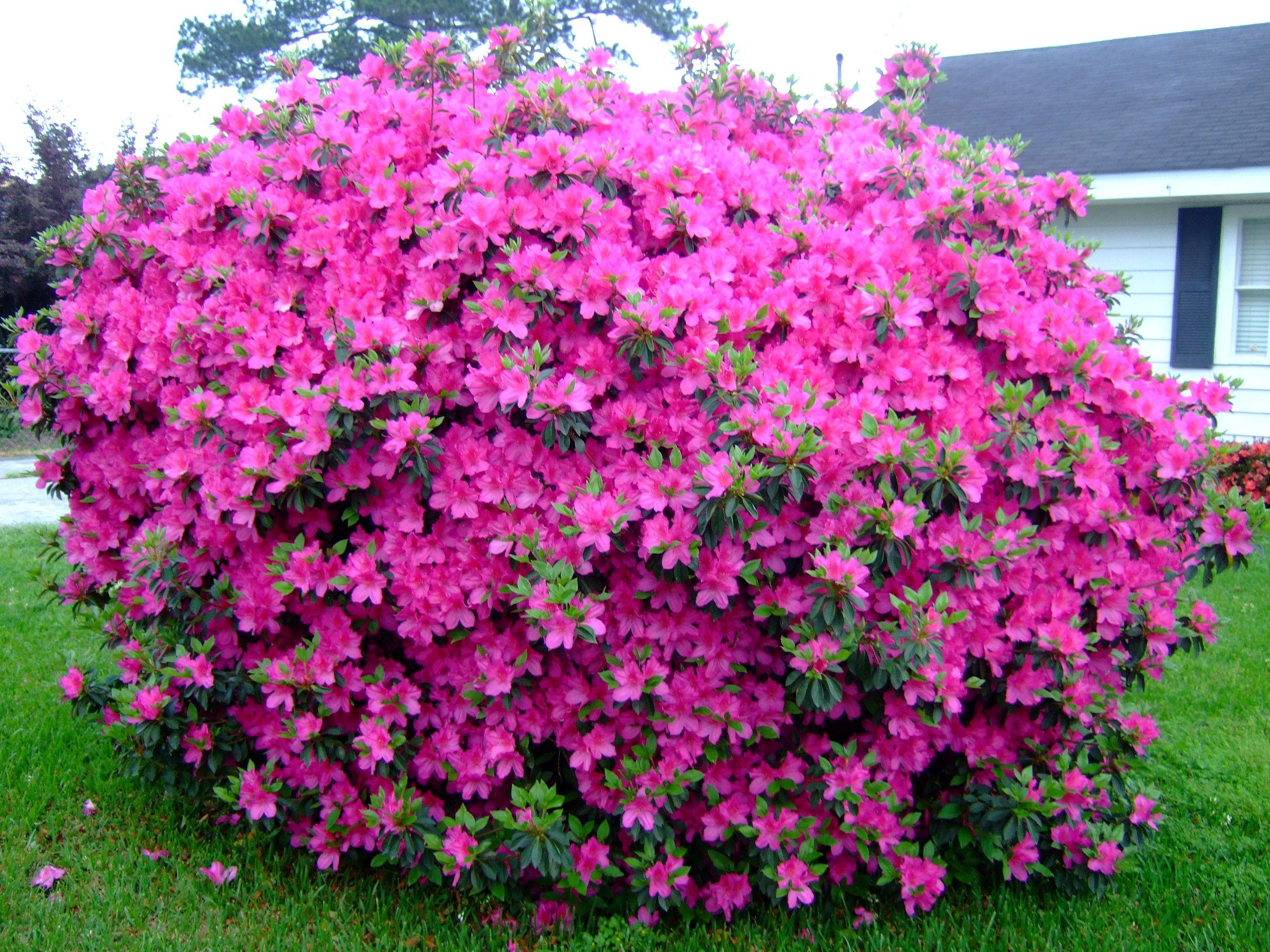 Everything S Coming Up Azaleas Garden Head Azalea Flower Flower Seeds Plants