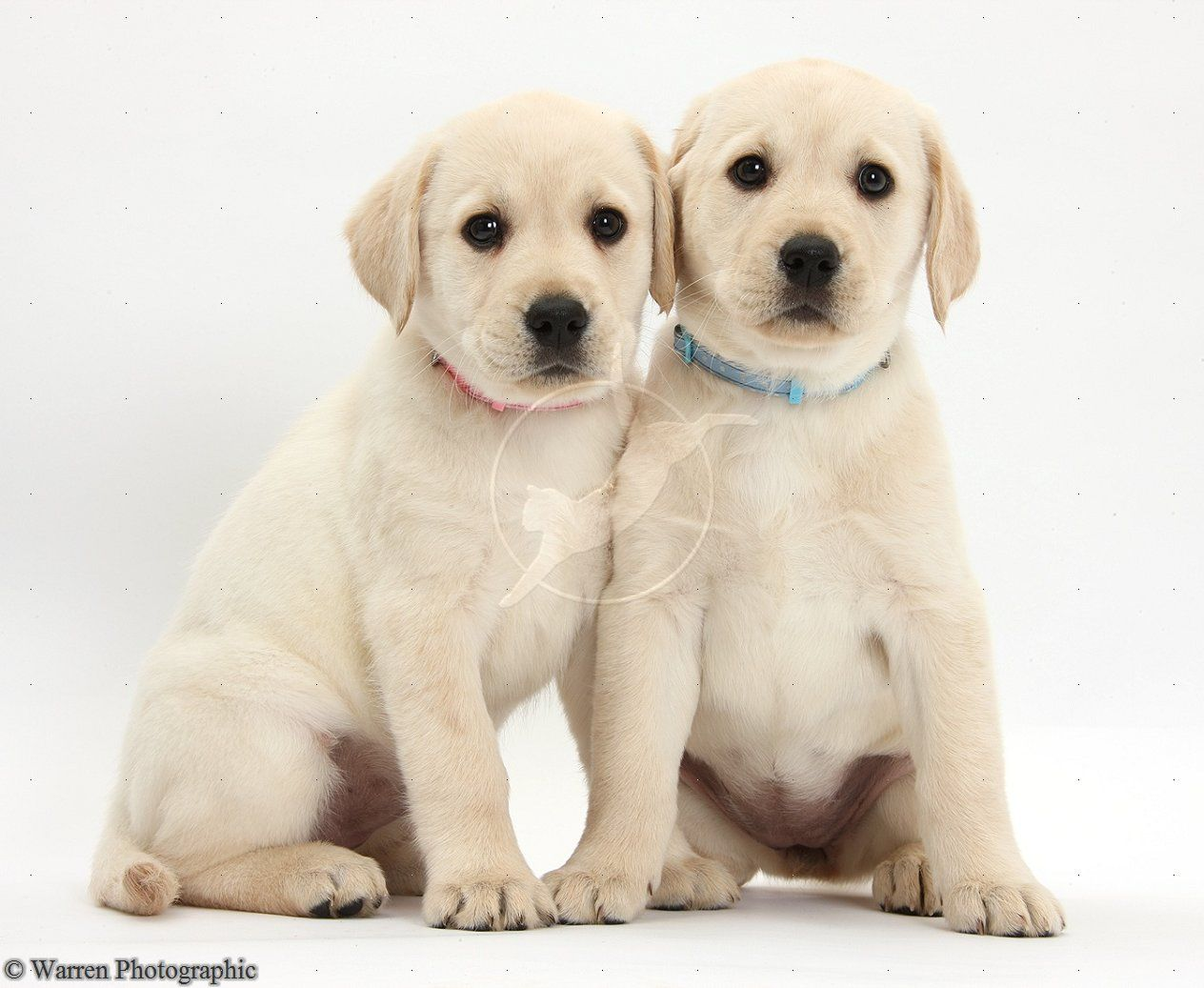 White Lab Yellow Labrador Retriever Puppies 8 Weeks Old Photo