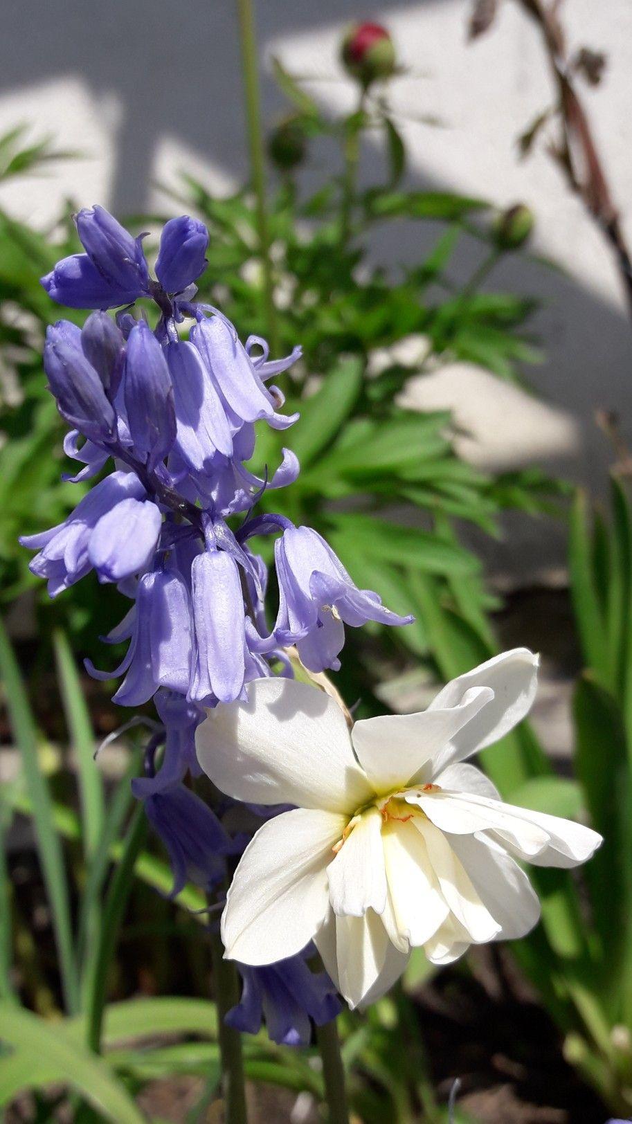 Narcyzm I Hiacyntowiec Plants