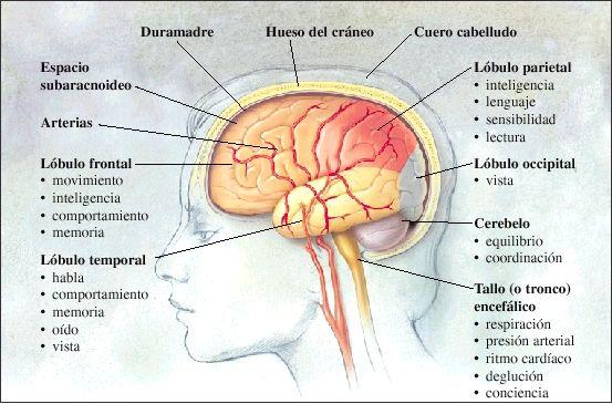 partes del cerebro en español - Buscar con Google | neurociencia ...