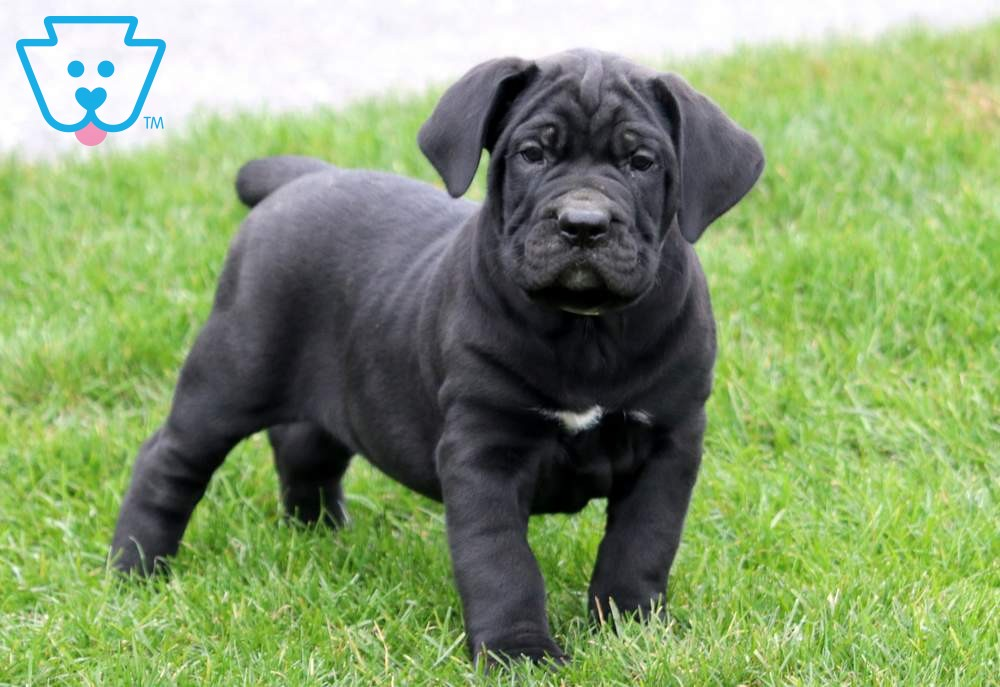 Boston Cane Corso Puppies Cane Corso Puppies For Sale