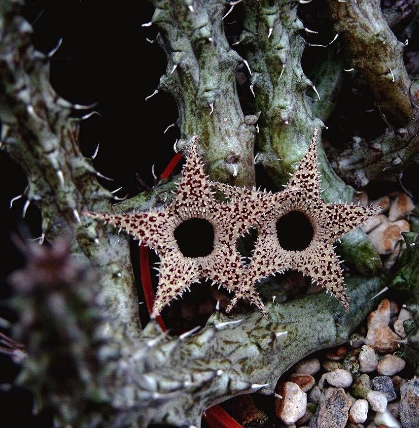 Stapelianthus Decaryi Kukat Puutarha