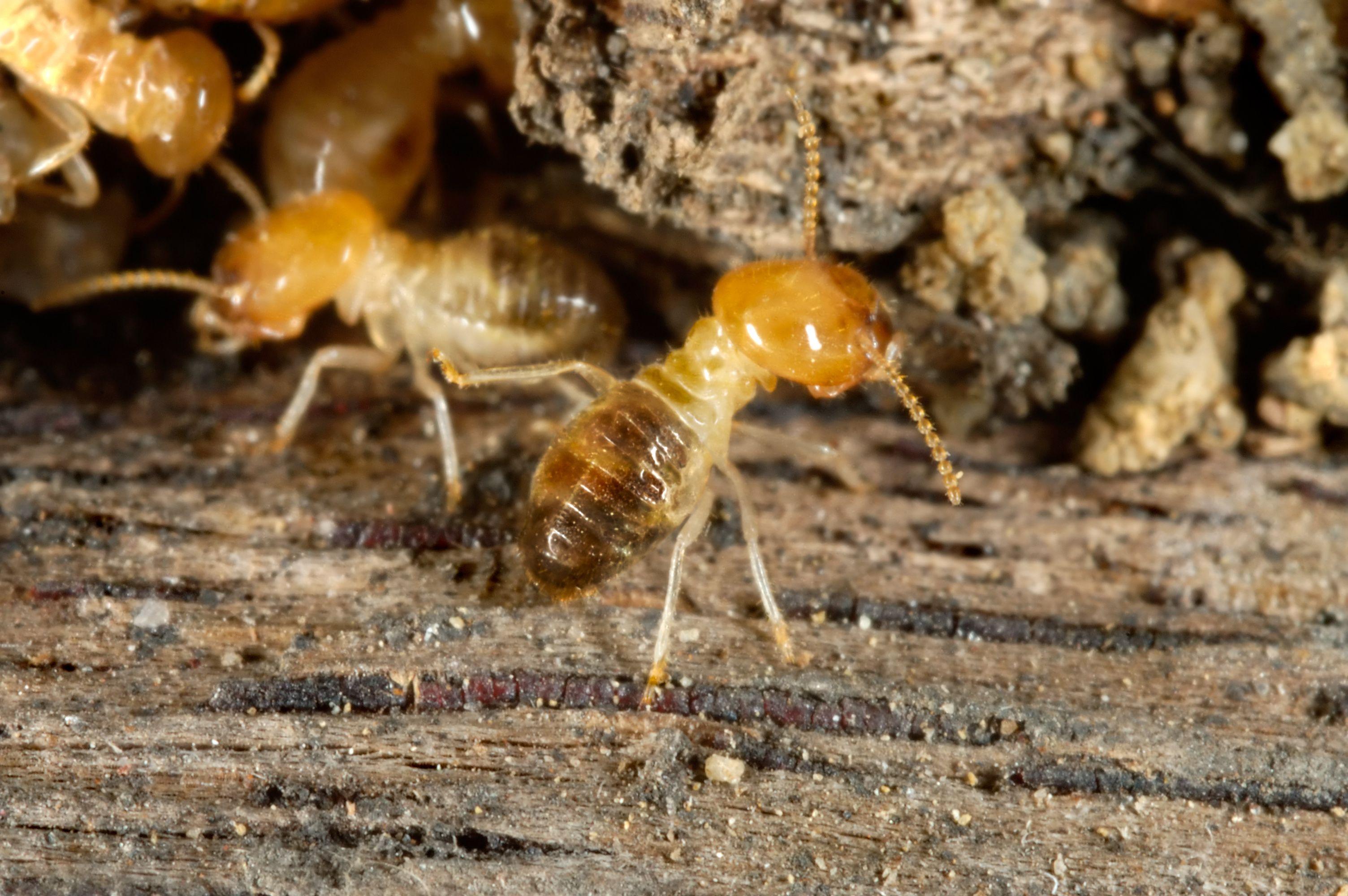 Como Acabar Con Las Termitas Worker Termites In 2020 Termites