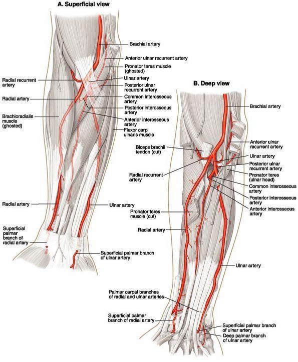 Ovid: Lippincott Williams & Wilkins Atlas of Anatomy   Anatomy ...