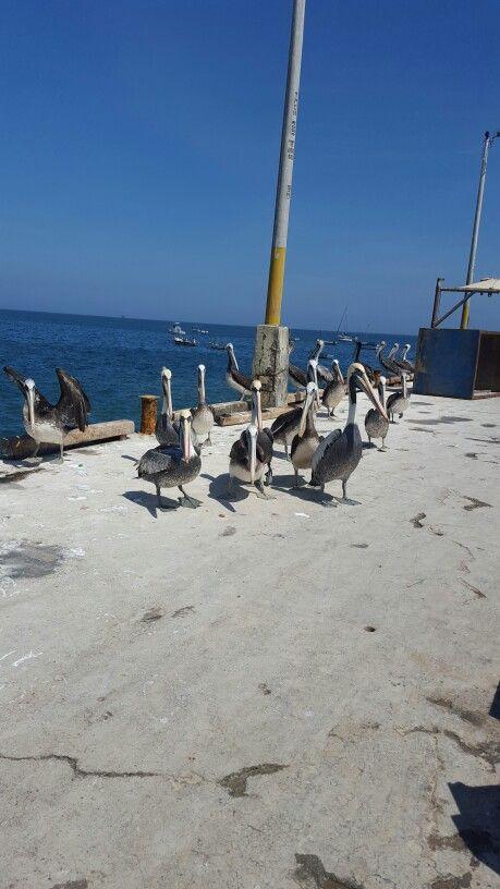 Pelicanos (con imágenes)   Viajes, Lugares