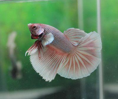 Red Green Copper Dragon Halfmoon Male Live Betta Fish M05 | eBay