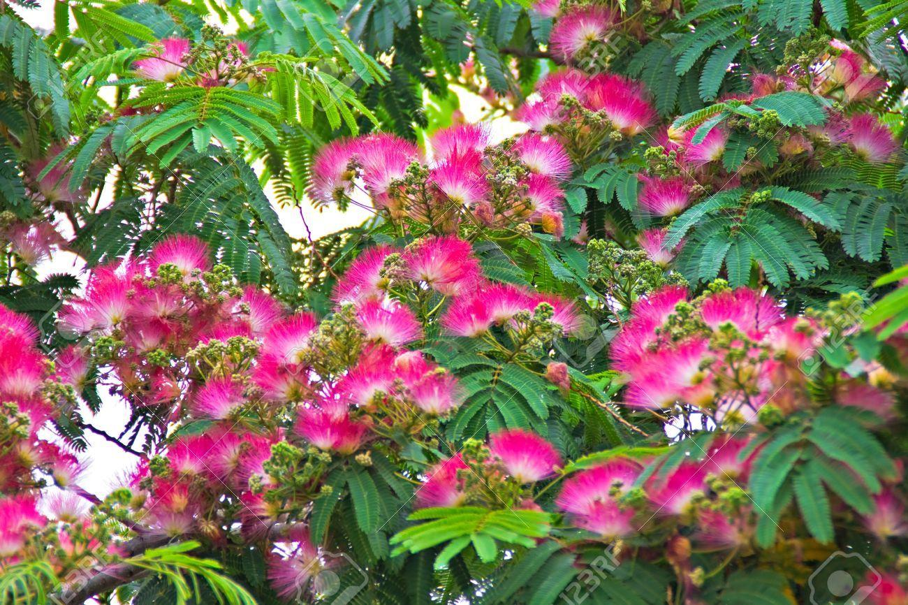albizia julibrissin persian silk tree attracts hummingbirds bees butterflies garden. Black Bedroom Furniture Sets. Home Design Ideas