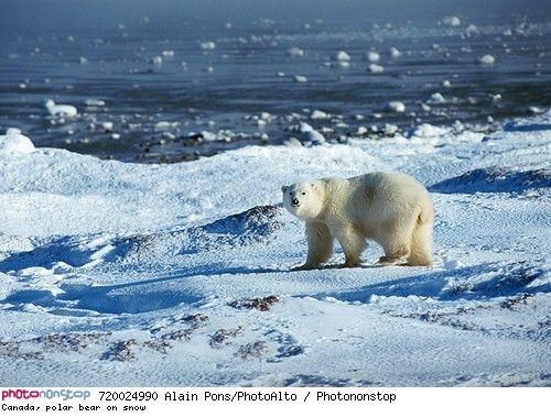 Canada Polar Bear On Snow Photoalto Libre De Droits Animales Photo Ours Fond D Ecran Ours
