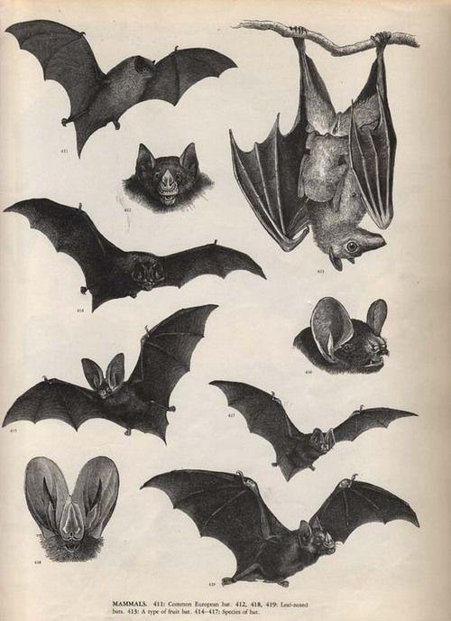 chauve souris bat diagram art antique illustrations. Black Bedroom Furniture Sets. Home Design Ideas