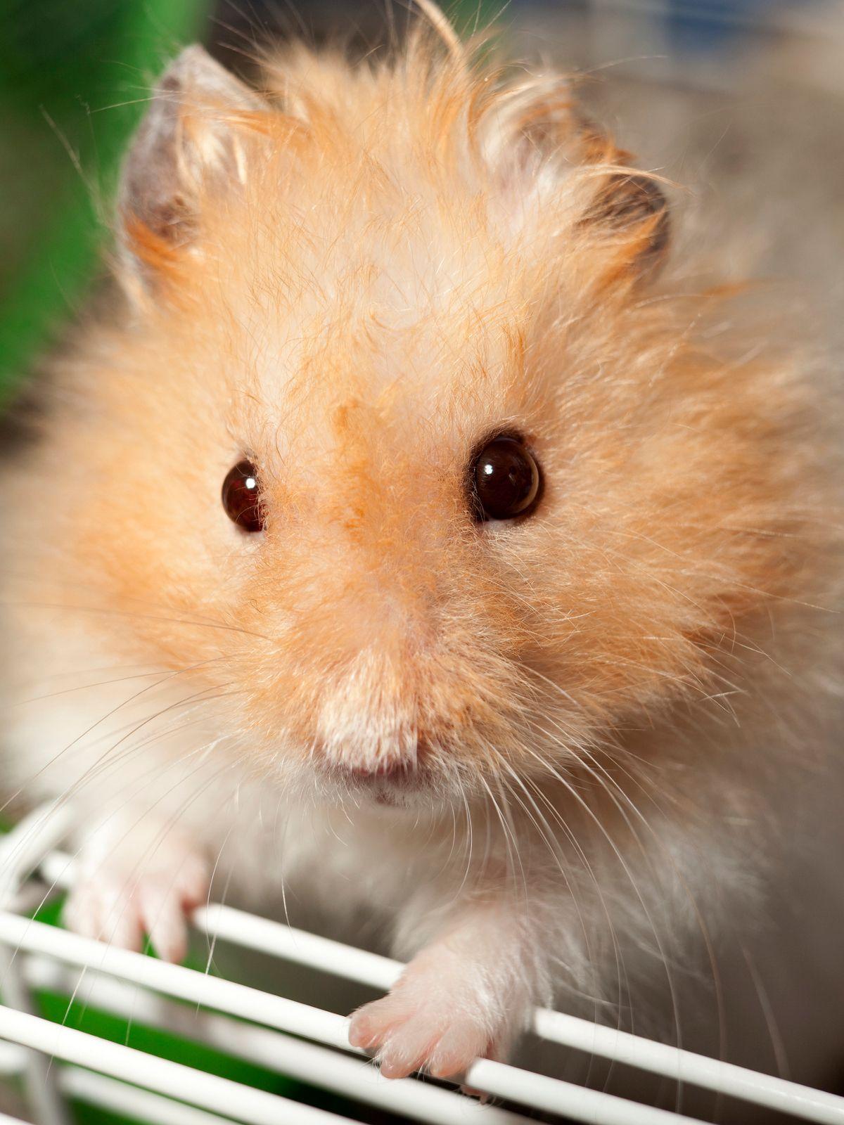 Life Cycle of Teddy Bear Hamsters Bear hamster, Hamster