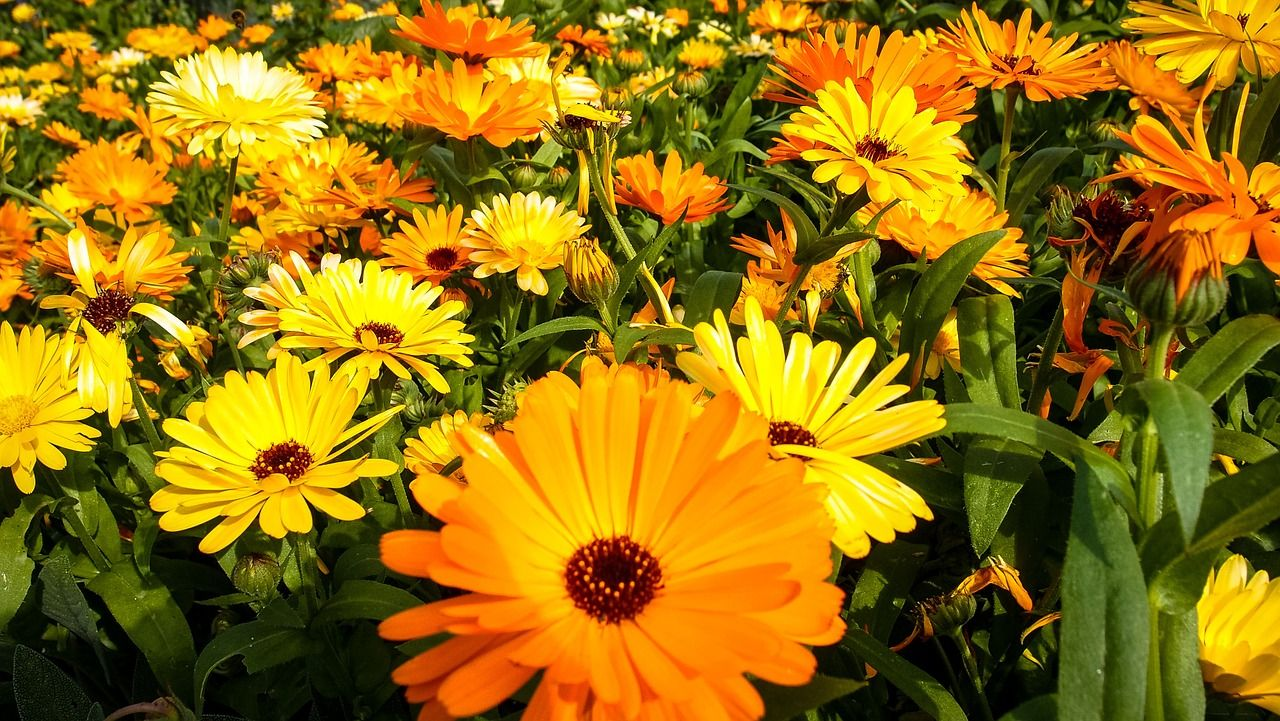 Chrysanthemum Meaning Cheerfulness (With images) Fall