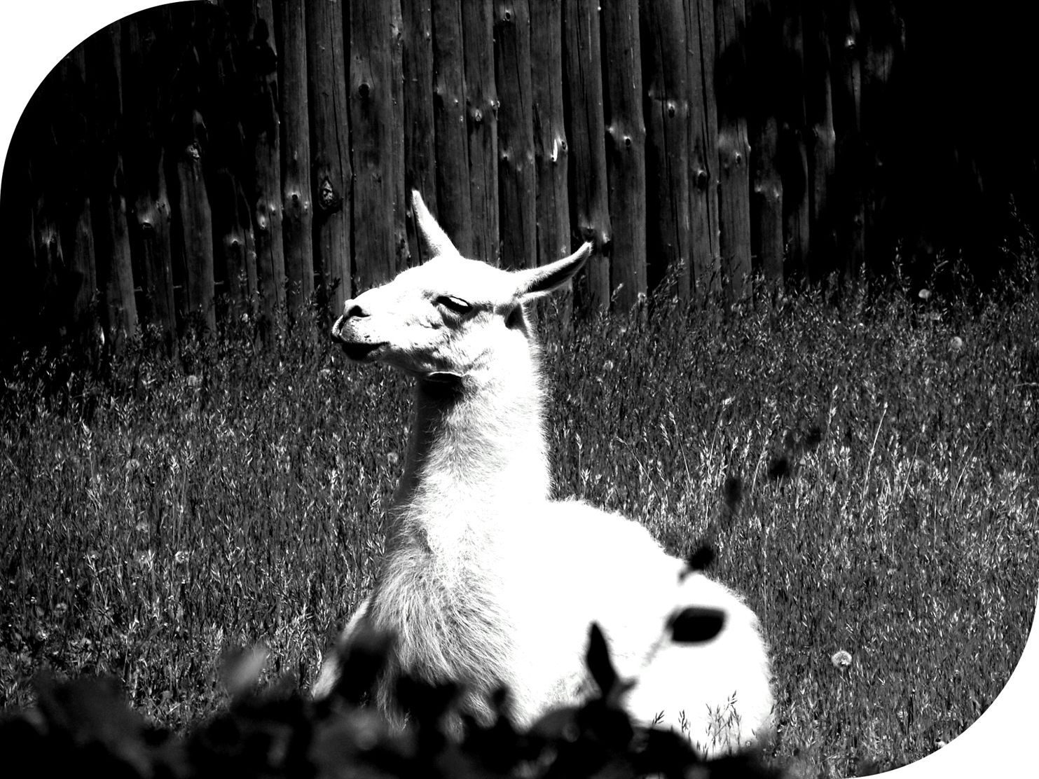 Animal animal photography llama 96894 bw portrait photography quotes photograph karaoke mp3 download