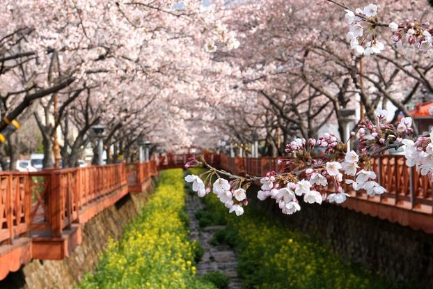 Cherry Blossoms In Korea Forecast 2020 Best Places To See Them Travel Stained Cherry Blossom Season Cherry Blossom Cherry Blossom Festival