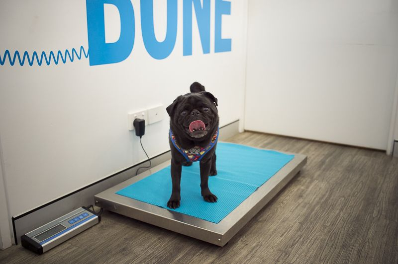 Is Your Pug Overweight How To Tell What To Do Pugs Pug