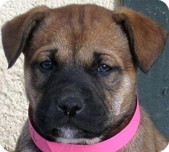 Trinidad, CO Boxer Mix. Meet Bixi a Puppy for Adoption