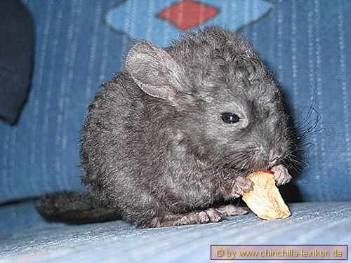 We Are Collectively Losing Our Minds Over The Curly Locken Chinchillas Chinchilla Cute Animals Dawn And Dusk