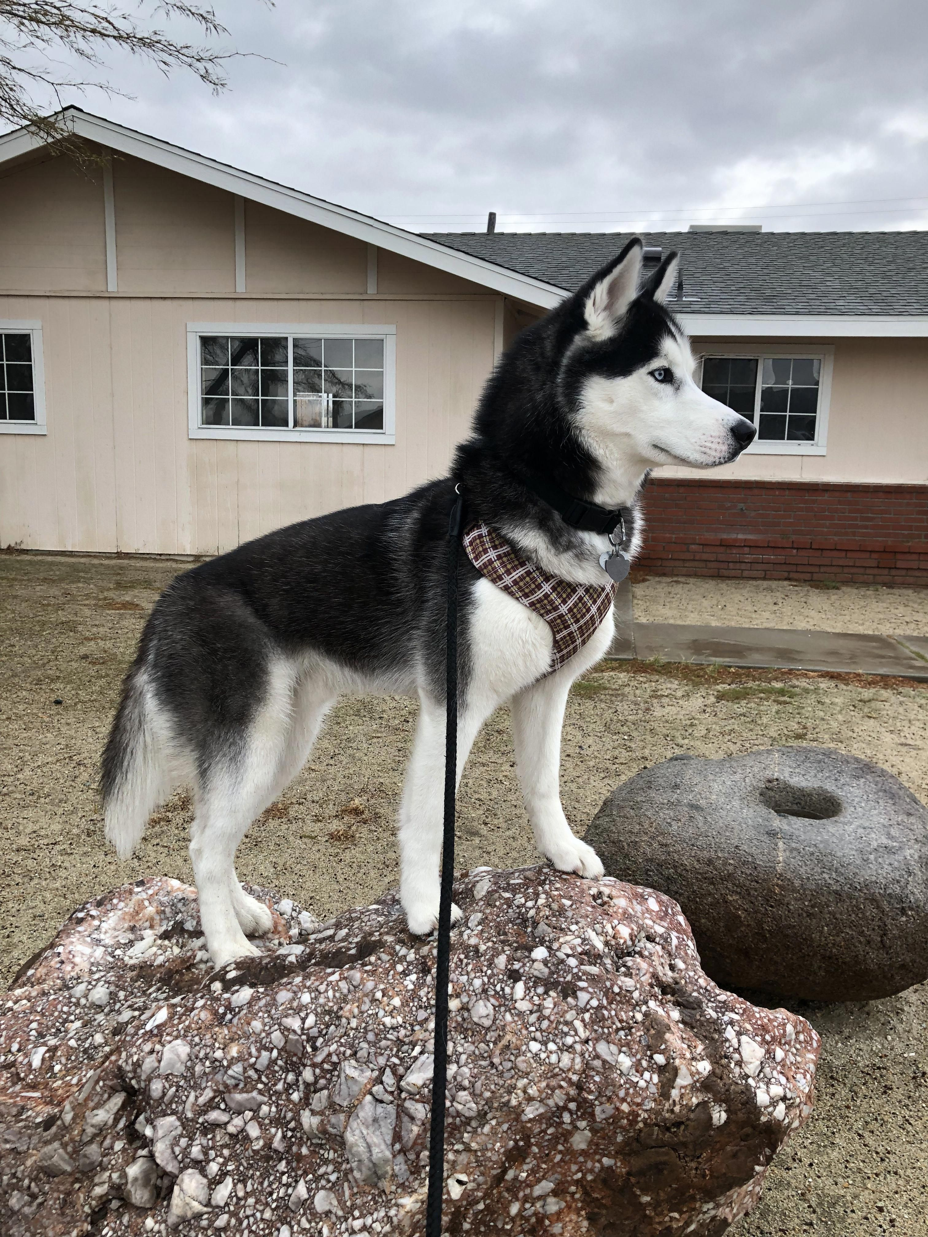 Receive Terrific Tips On Siberian Husky Pups They Are Actually