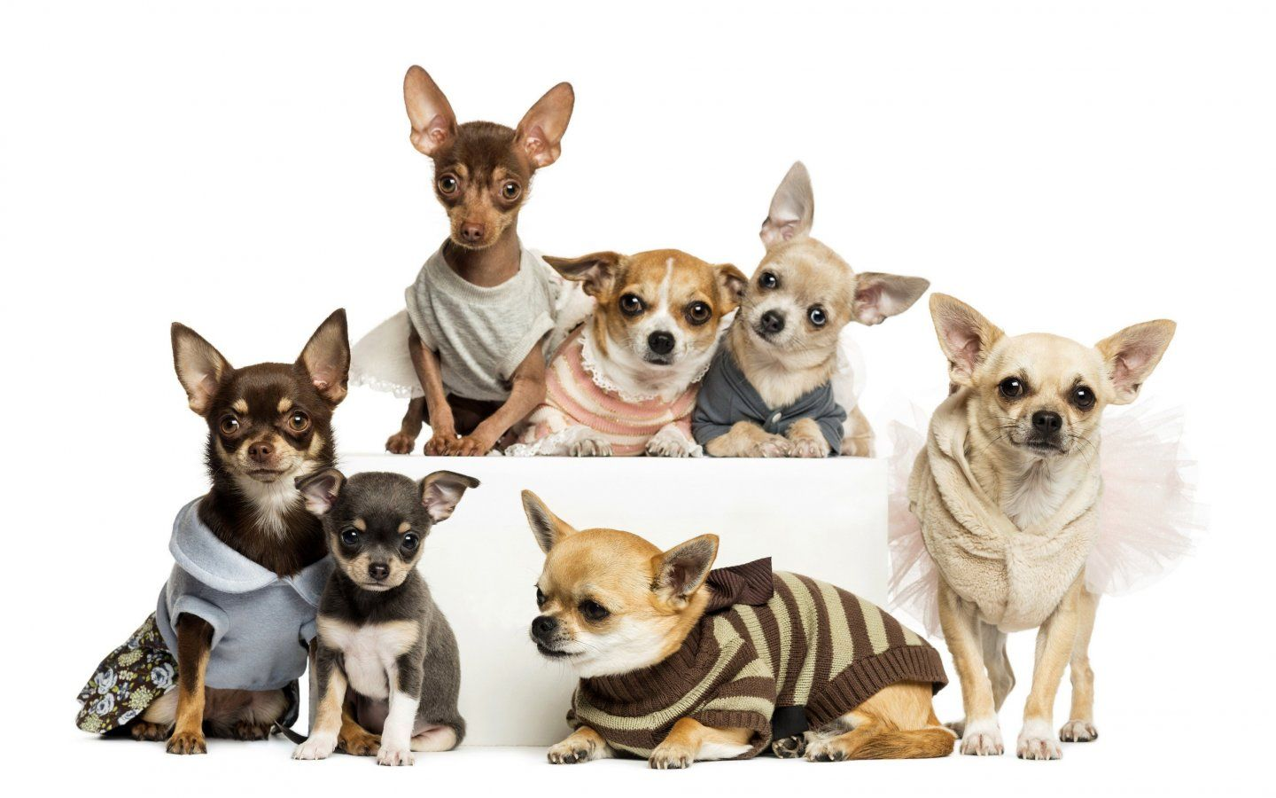 chihuahua wallpaper for ipad Buscar con Google perros