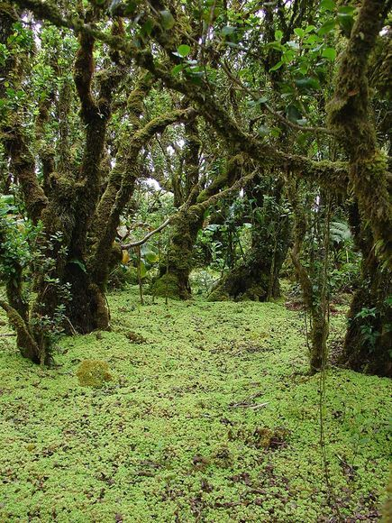 Moss Has Cloned Itself for 50,000 Years - A peat moss [Sphagnum palustre] spreading throughout the Hawaiian Islands appears to be an ancient clone that has copied itself for some 50,000 years—and may be one of the oldest multicellular organisms on Earth. Reference: Karlin, E. F., Hotchkiss, S. C., Boles, S. B., Stenøien, H. K., Hassel, K., Flatberg, K. I. and Shaw, A. J. (2011), High genetic diversity in a remote island population system: sans sex. New Phytologist