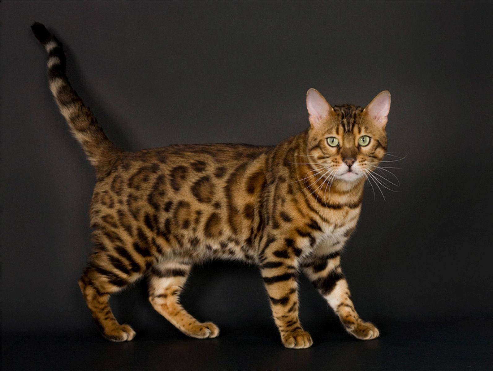 jungle cats,japanese cat breeds,characteristics list,large