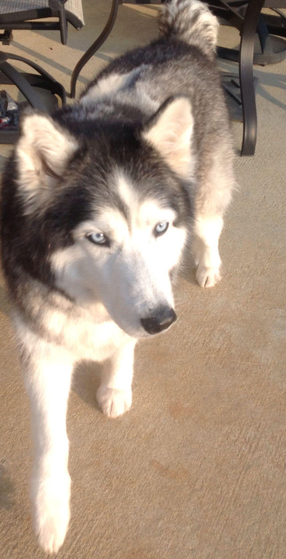 Anya Sweet Sweet Gentle And Loving Adopted Husky Adoption Dogs