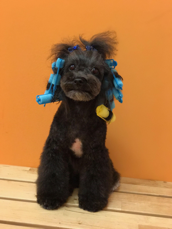 Curlers In My Hair Pet Grooming Grooming Pets