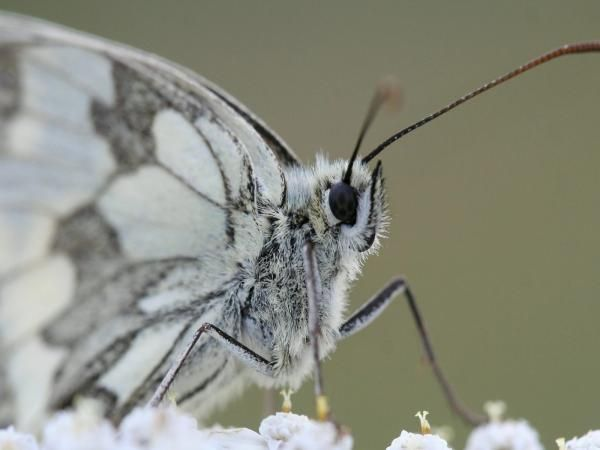 Grey and White Butterfly