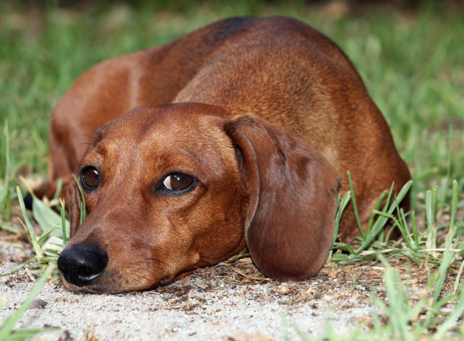 Dachshund july live life like a dachshund