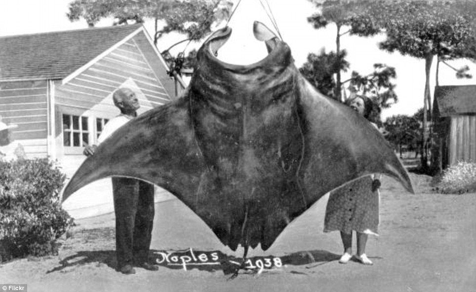John Hachmeister and Mrs. Earl Baum admiring a 1,200 lb manta ray caught  near Naples