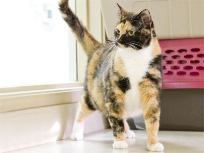 Adopted Hi My Name Is Hermione I Am A Gorgeous Calico Cat My Approx Birthday Is 1 22 11 My Story I Was Living By A Church Outs Pets Elf House Calico Cat