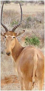 """The hirola (Beatragus hunteri) or Hunter's hartebeest or """"Hunter's antelope"""", is found in arid grassy plains in a pocket on the border between Kenya & Somalia. Known as the """"four-eyed antelope,"""" due to their large preorbital glands. The main threats to their survival incl disease, predation, competition for grazing & water w domestic livestock, habitat loss due to bush encroachment & severe drought. Critically endangered - only 500-1200 in the wild & none currently in captivity."""