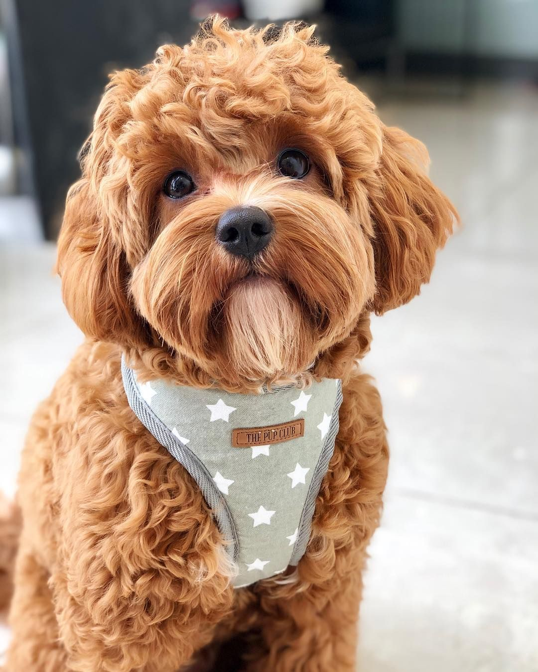 Everything You Need To Know About A Cavapoo Cavapoo Cavapoopuppies Cutepuppies Dogs Dogbeast Cavapoo Puppies Teddy Bear Dog Dog Haircuts