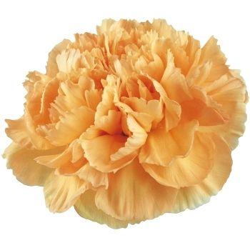 Fiftyflowers Light Orange Whole Carnations